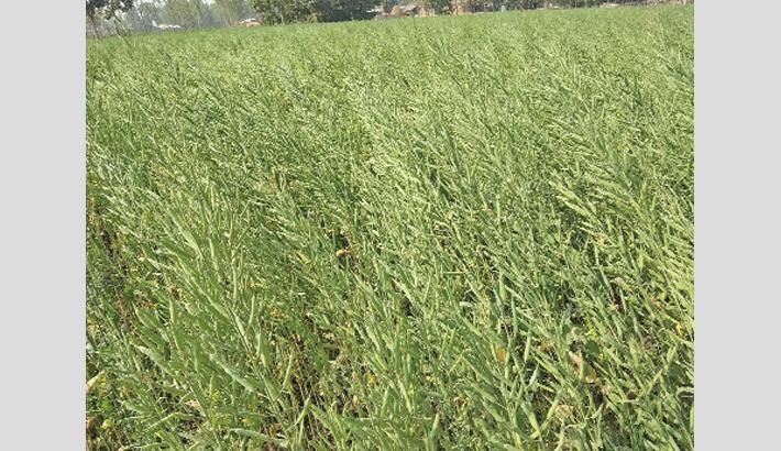 Bumper yield of mustard expected  in Nilphamari