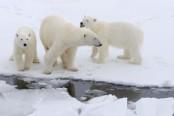 Russian Arctic archipelago sounds alarm over aggressive polar bears
