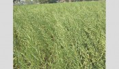 Bumper yield of mustard expected  in Nilphamari