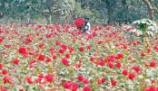 Flower farming gains  ground in Savar