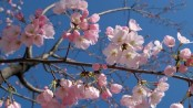 Art, science of cherry blossom forecast