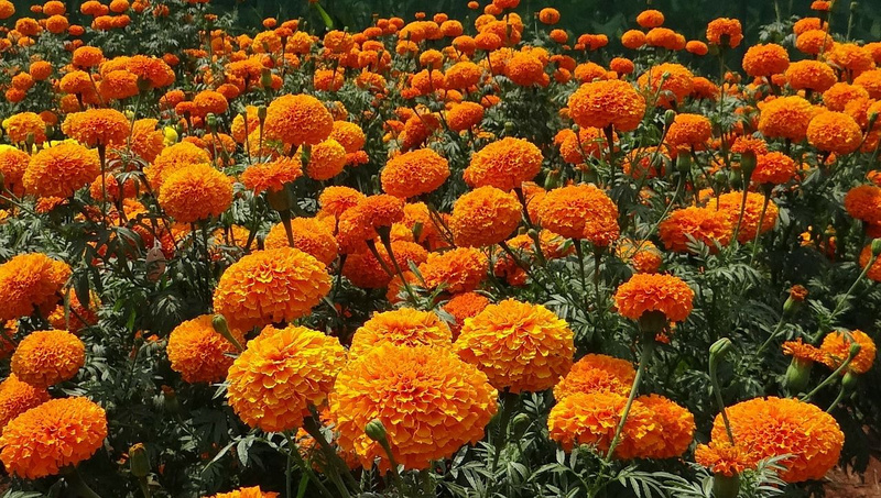 Flower business in Jashore blooms in Feb