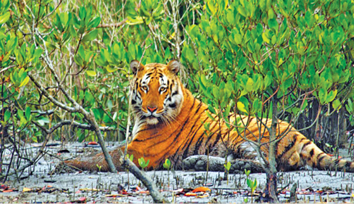 Tigers threatened in Sundarbans