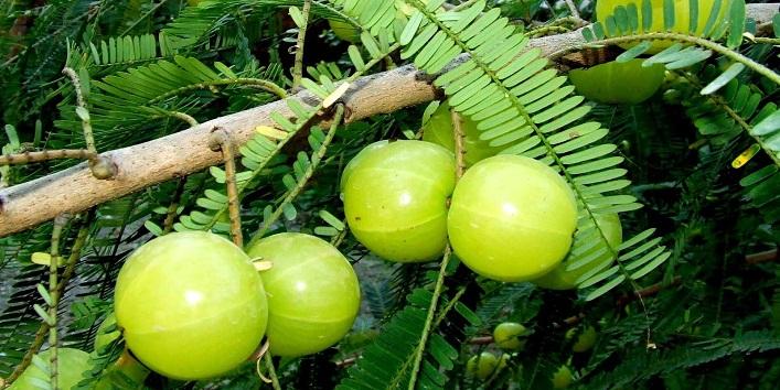 Amla – The Wonder Berry