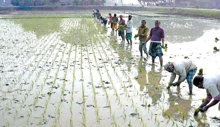 Farmers are busy planting boro seedlings at a field