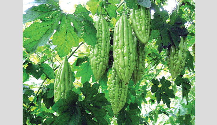 Farmers happy with bitter gourd price  in Bogura