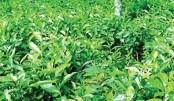 Tea production up 57pc in N-dists