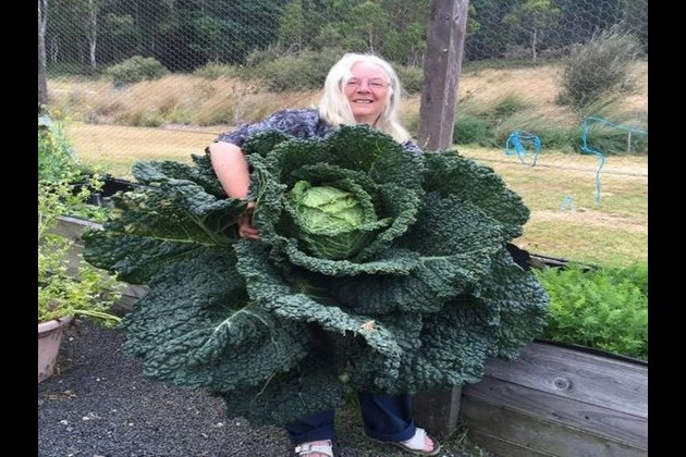 Australian couple grows giant cabbage as big as a man after more than nine months of care