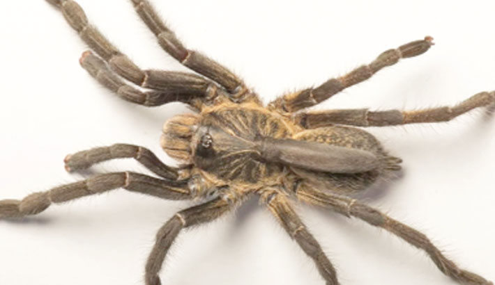 New species of Angolan 'horned' spider unearthed