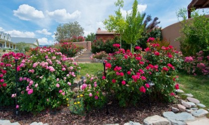 Grow these roses in your spring garden this season