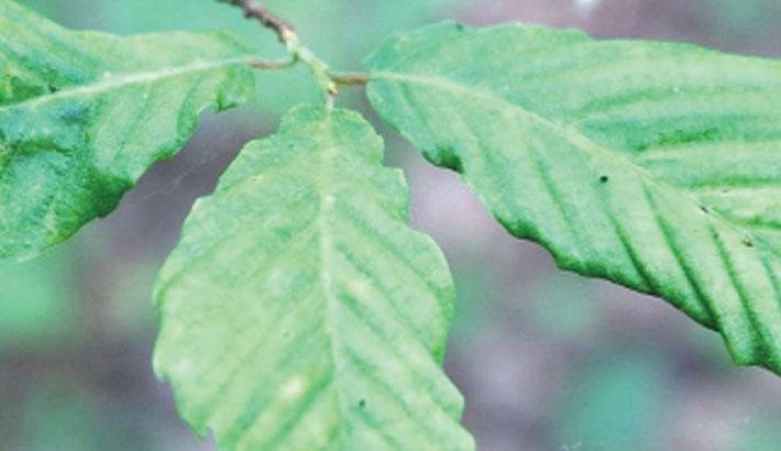 Mystery disease killing beech trees