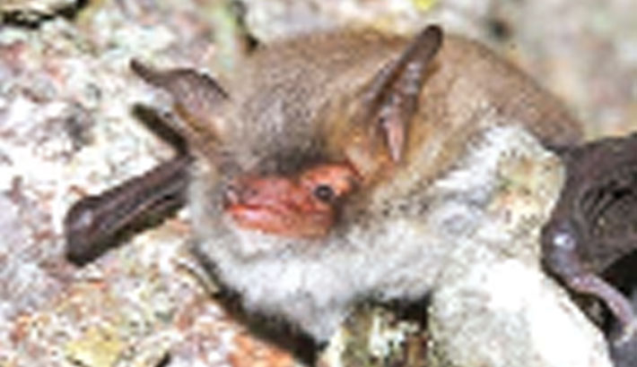 Two new bat species found in Europe, North Africa