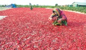 Red chillies to dry under the sun