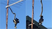 Python devours large currawong bird as it dangles from TV antenna (Video)