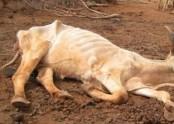 German police say dead cow kicked slaughterhouse worker