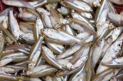 Mola farming in ponds improves other fishes' nutritional quality: FAO
