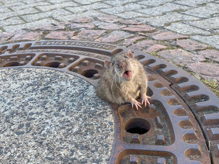 Firefighters save chubby rat trapped in manhole cover (Video)