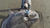 Huge, strange fish on California beach