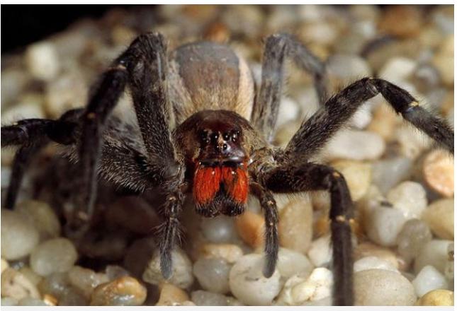 Deadly spider venom more effective than Viagra!