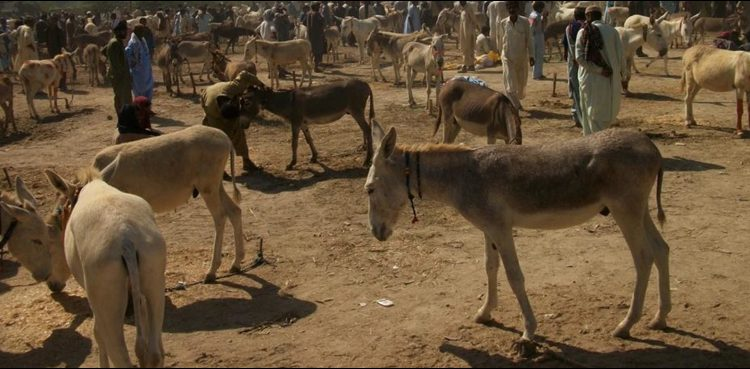'Equine strep throat' kills 4,000 donkeys in Niger