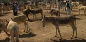 'Equine strep throat' kills 4,000 donkeys in Niger