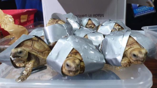 Turtles and tortoises found wrapped in tape
