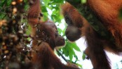 Rarest orangutans 'doomed' by Indonesia dam project