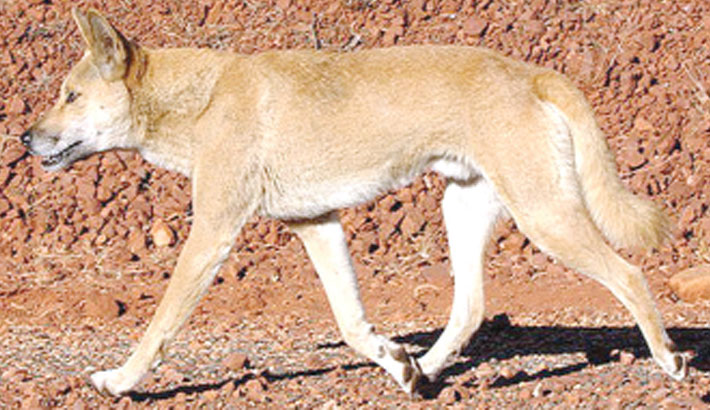 Dingo is not a dog, but own species: Australian researchers