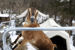 Vermont town elects goat as honorary mayor!