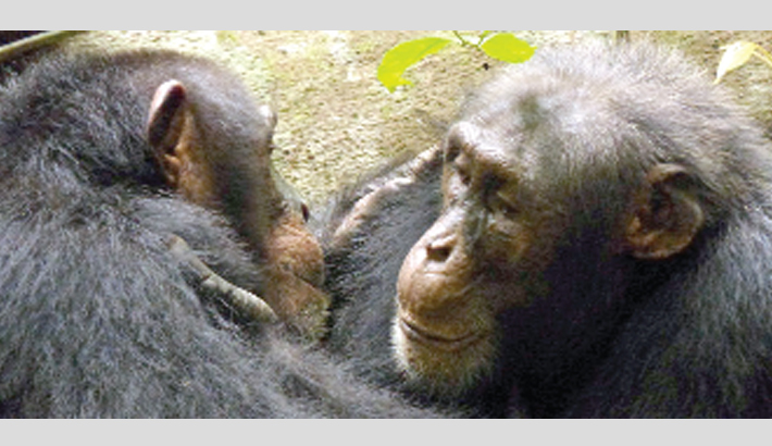 Chimps' cultural diversity threatened by humans: Study