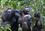 Chimps varied 'culture' matters for conservation