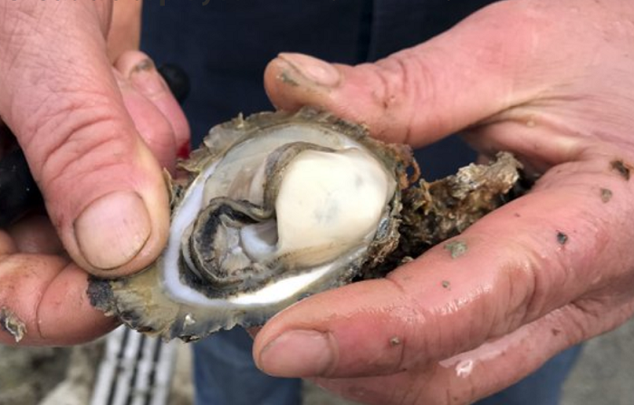 Oyster farmers in alarm after norovirus found