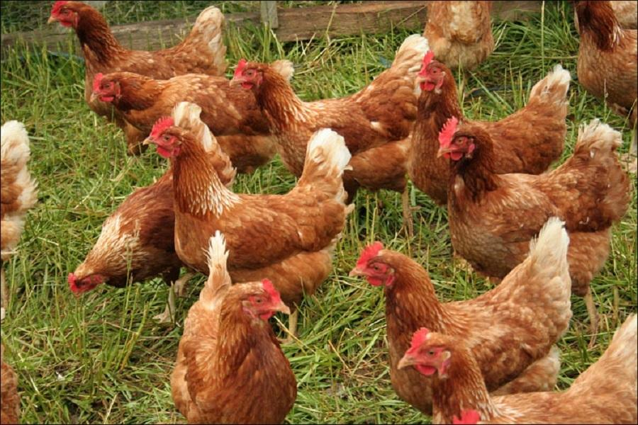 Furious French chickens team up to henpeck fox to death