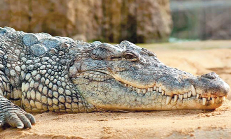 Australian town holds funeral for crocodile