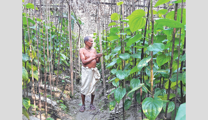 Betel leaf cultivation  on rise in Noakhali