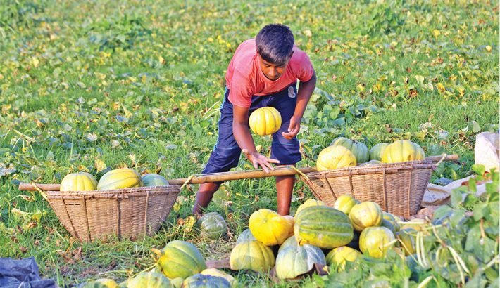 Teenage farmer loads just-harvested muskmelons