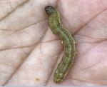 Asia bracing for destruction by alien pest