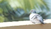 Belgian pigeon flies high in record 1.25m euros auction