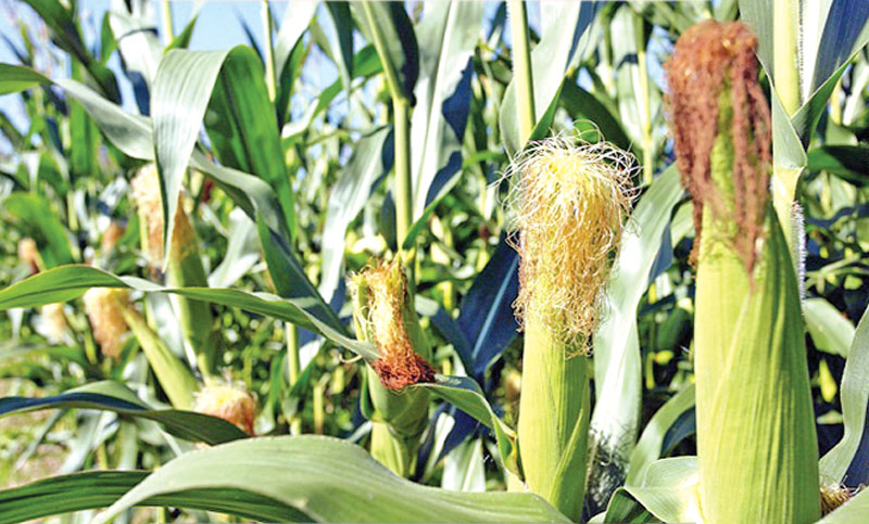 Bumper maize yield expected in Nilphamari