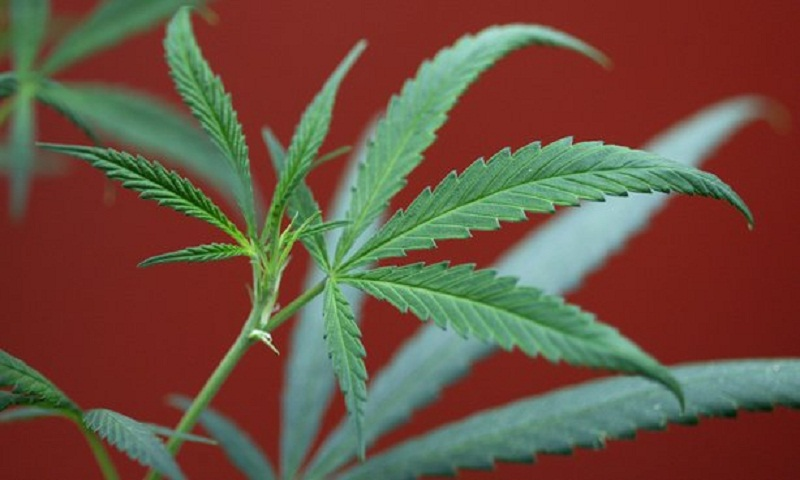 High potency cannabis 'strongly linked' to psychosis