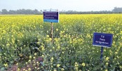 Farmers happy with mustard yield in Rajshahi