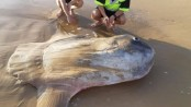 Giant sunfish washes up on beach in South Australia
