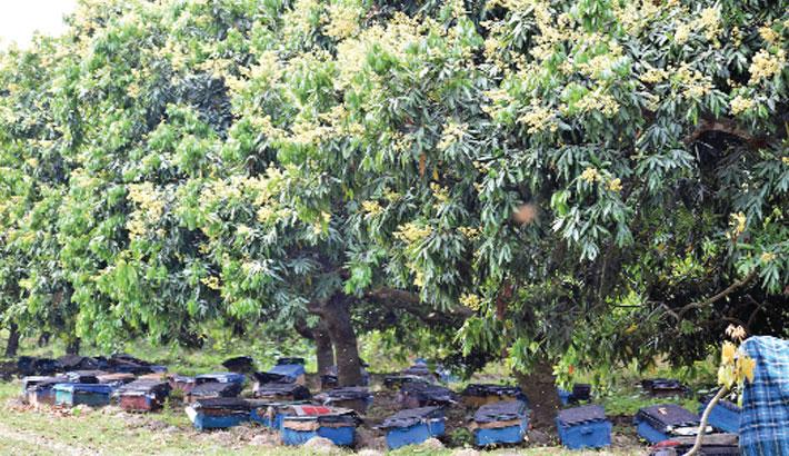 Beehives have been kept beside a litchi garden at Nawdapara village