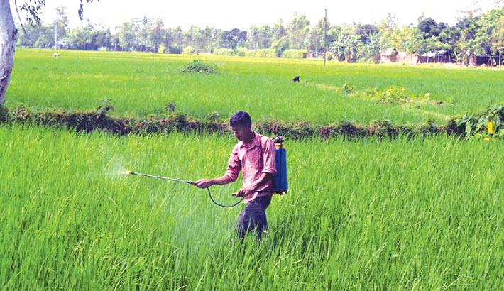 A farmer sprays pesticide in a paddy field without wearing a mask