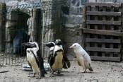 Rare albino penguin makes debut at Polish zoo