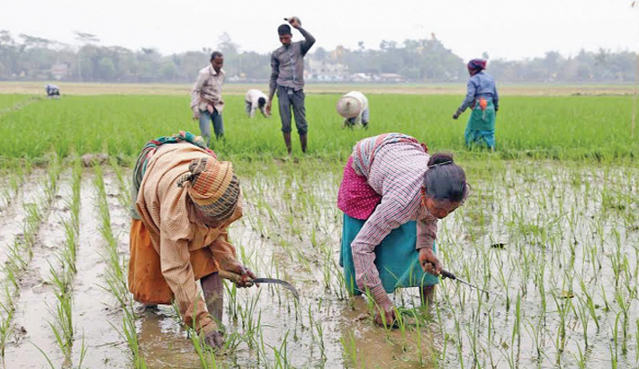 Farmers are taking care of Aman paddy field