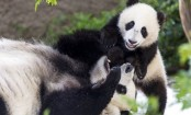 Last 2 pandas at San Diego Zoo to leave for China