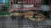 Indonesia foils Komodo dragon smuggling gang