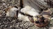 Huge snake strangles hawk in 'life-or-death battle'