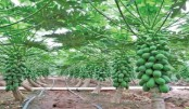 Papaya cultivation gaining popularity  in Khagrachhari